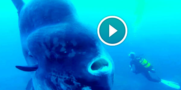 Muscle Car Rims >> Divers Photograph A HUGE Fish-Moon In The Ocean: This Is ...
